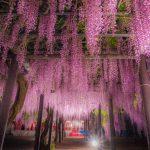 兵庫県朝来市・白井大町藤公園で藤のライトアップに酔いしれてきた話。