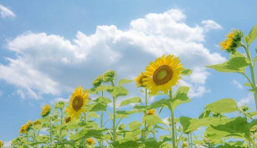 これぞ日本の夏の風景!兵庫・佐用町南光ひまわり畑に行ってきた話。