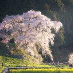 数百年の歴史を感じる春の風景!奈良県宇陀市の一本桜を撮ってきた話