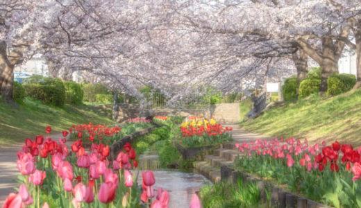 桜とチューリップの華やかな共演!江川せせらぎ緑道を撮り歩いてきた